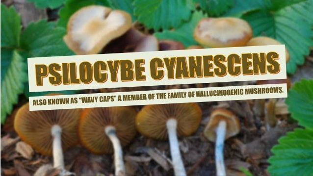 What is Psilocybe Cyanescens?