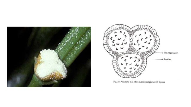 Psilotum asexual reproduction video
