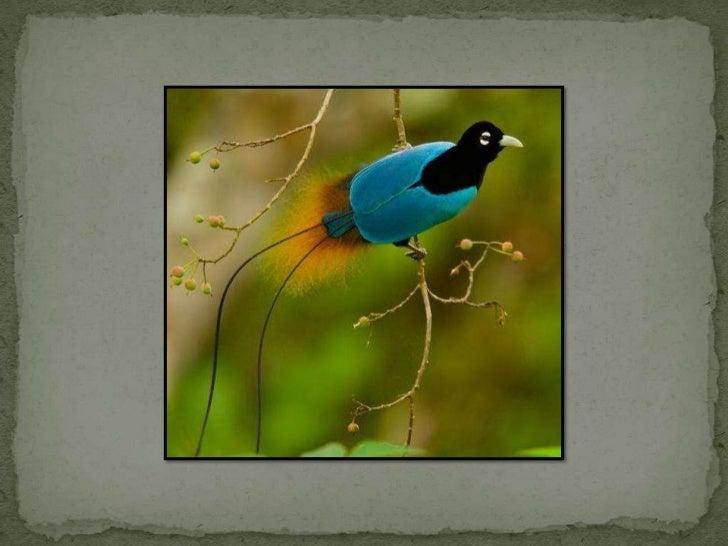 Pássaros do paraíso silde show