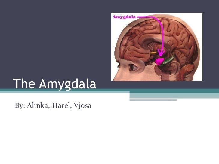 The Amygdala By: Alinka, Harel, Vjosa