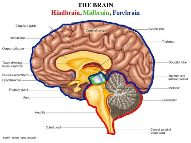 brain basic 7 638