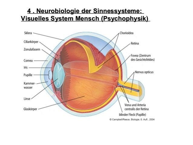 4 . Neurobiologie der Sinnessysteme:4 . Neurobiologie der Sinnessysteme: Visuelles System Mensch (Psychophysik)Visuelles S...