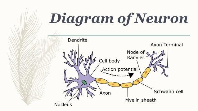 Neuron diagram of neuron 9 types of ccuart Images