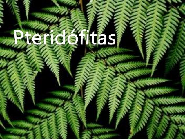 Introdução • São um grupo de plantas pioneiro, por terem sido as primeiras a possuir tecidos especializados na condução de...