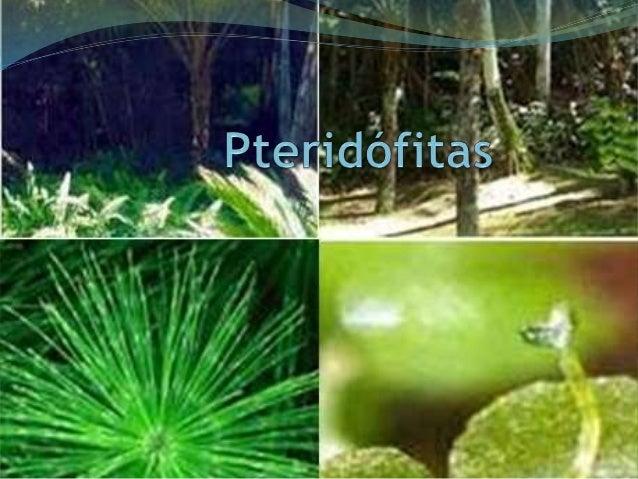 O que são?  São vegetais terrestres  Tem tecidos de condução  São os primeiros vegetais a formar grandes florestas  Seus f...