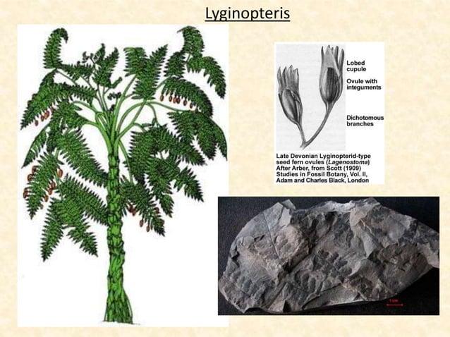Lyginopteris