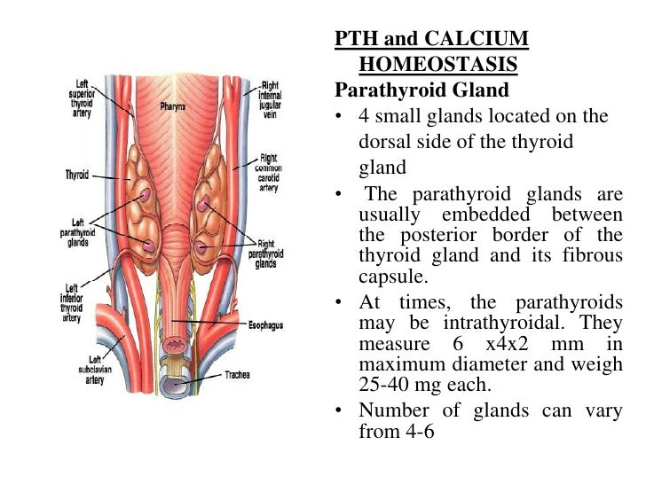 PTH and CALCIUM  HOMEOSTASISParathyroid Gland• 4 small glands located on the  dorsal side of the thyroid  gland• The parat...