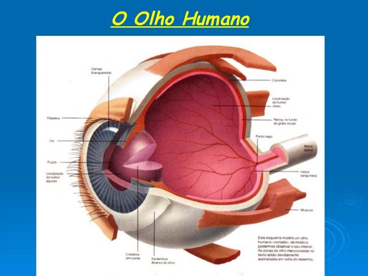 O Olho Humano