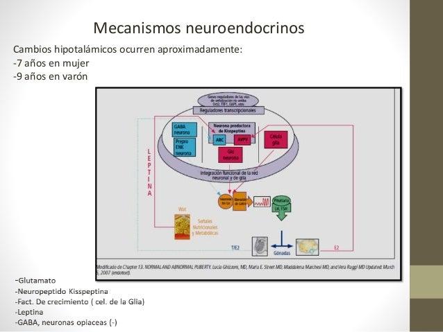 Mecanismos neuroendocrinos Cambios hipotalámicos ocurren aproximadamente: -7 años en mujer -9 años en varón