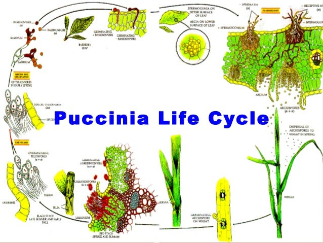 30000169018 likewise Puccinia Fungus additionally Health Benefits Of Lime in addition Le Snak as well Wheat. on what is wheat germ