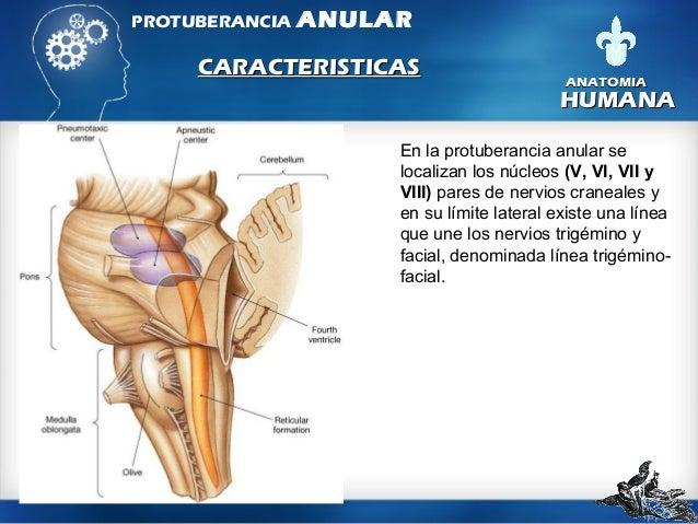 Puente tronco-encefálico, puente de Varolio o protuberancia anular