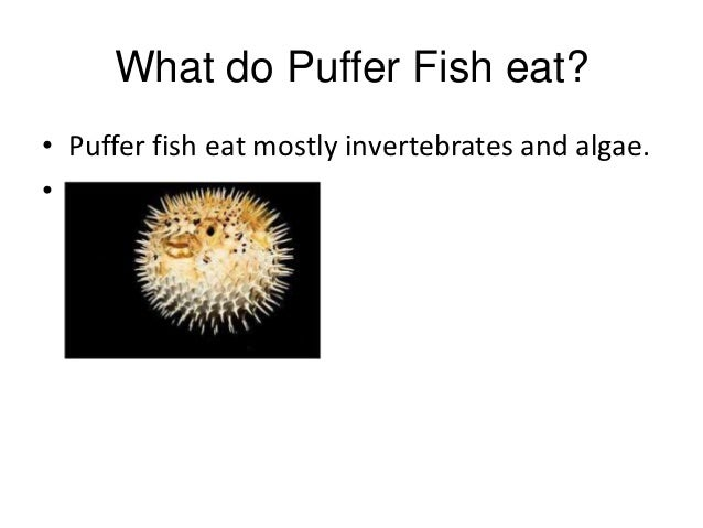 Puffer fish beep lexi and me for What can fish eat