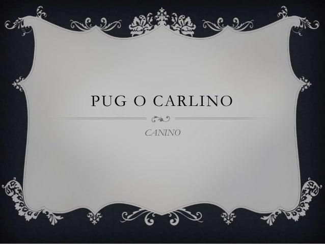 PUG O CARLINO CANINO