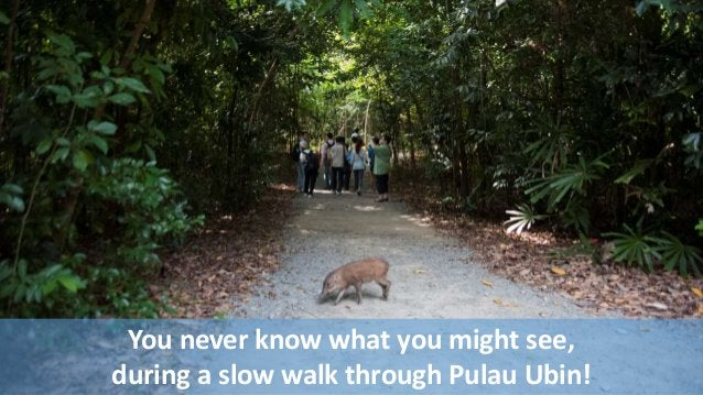 You never know what you might see,  during a slow walk through Pulau Ubin!