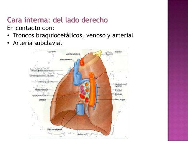 Estructura del Pulmón Anatomia Humana