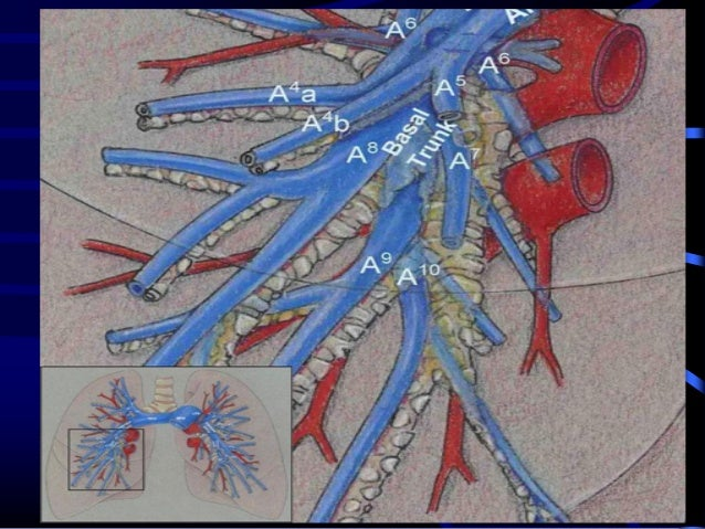 Anatomy of pulmonary artery