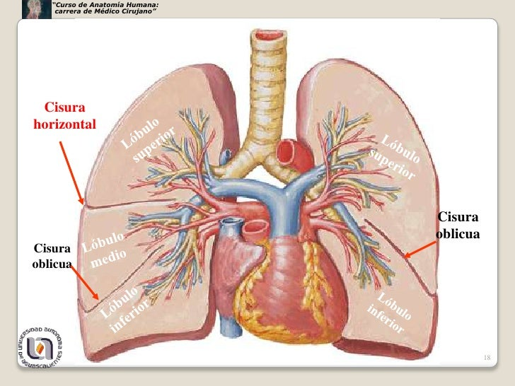 Bonito Anatomía De Pulmón Humano Colección de Imágenes - Anatomía de ...