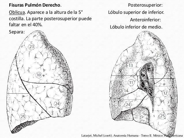 Anatomía de Pulmones