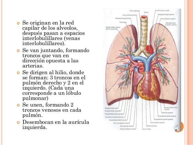 Pulmones anatomia