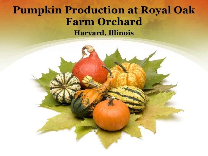 Pumpkin Production at Royal Oak Farm Orchard Harvard, Illinois