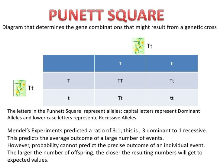 PUNETT SQUARE<br />Diagramthat determines the gene combinationsthatmightresultfrom a geneticcross<br />Tt<br />Tt<br />The...
