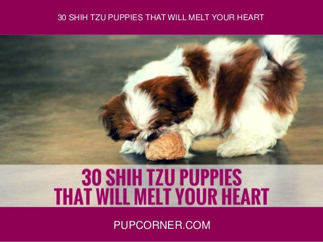 PUPCORNER.COM 30 SHIH TZU PUPPIES THAT WILL MELT YOUR HEART