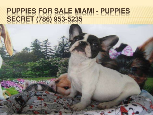 Dogs & Puppies For Sale in Miami, Florida - Hoobly Classifieds