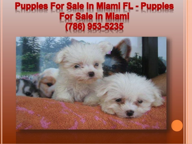 Dogs for Sale in Miami | Dogs on Oodle Classifieds