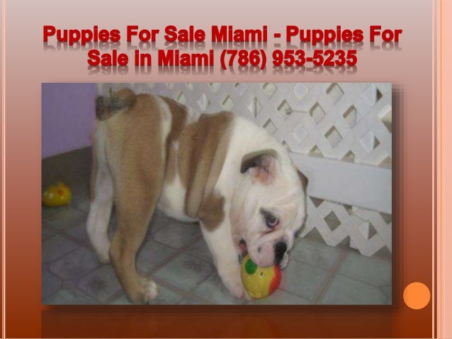 Puppies For Sale In Miami | Dogs - Puppy Stores | Puppies ...