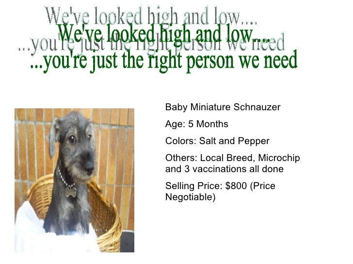 We've looked high and low.... ...you're just the right person we need Baby Miniature Schnauzer Age: 5 Months Colors: Salt ...