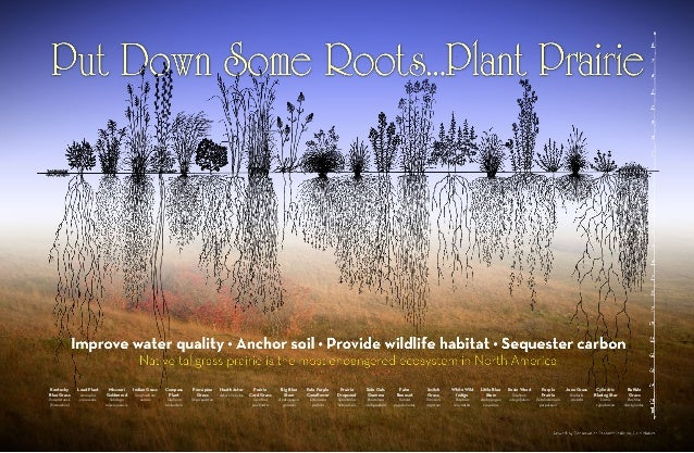 Kentucky        Lead Plant    Missouri       Indian Grass   Compass      Porcupine       Heath Aster        Prairie      B...