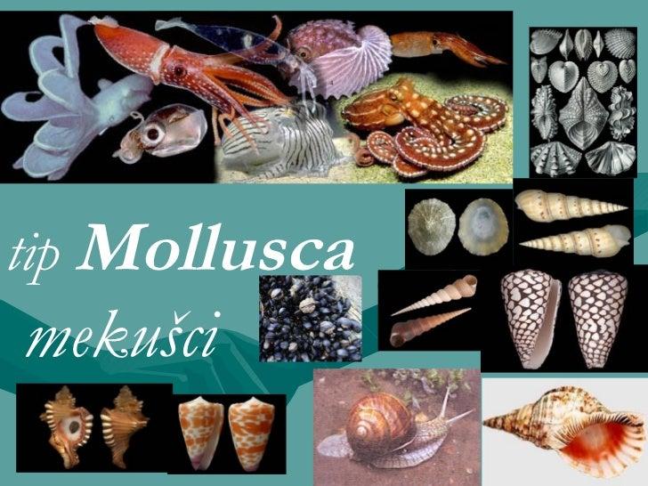 t ip   Mollusca mekušci