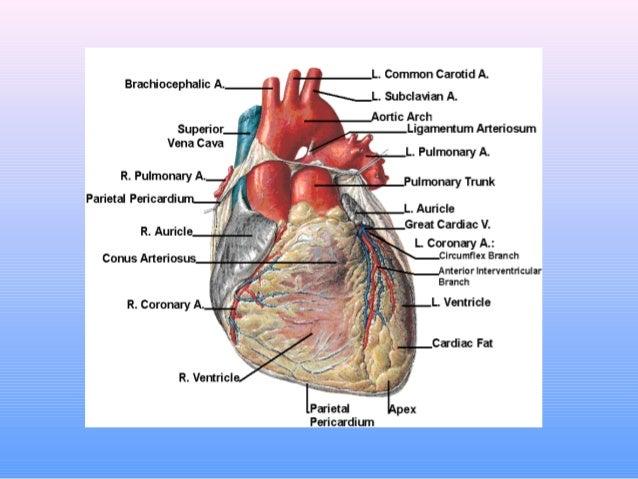 194 Anatomy And Function Of The Coronary Arteries
