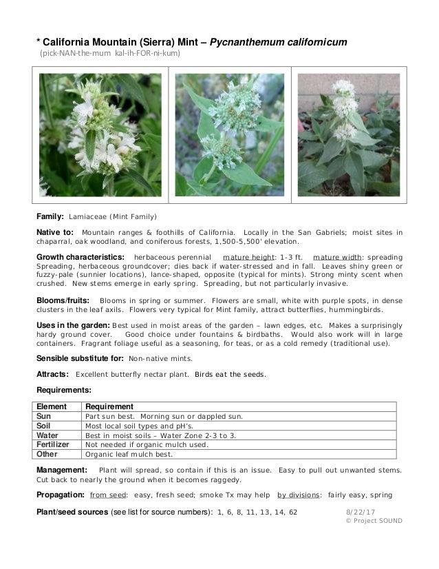 * California Mountain (Sierra) Mint – Pycnanthemum californicum (pick-NAN-the-mum kal-ih-FOR-ni-kum) Family: Lamiaceae (Mi...