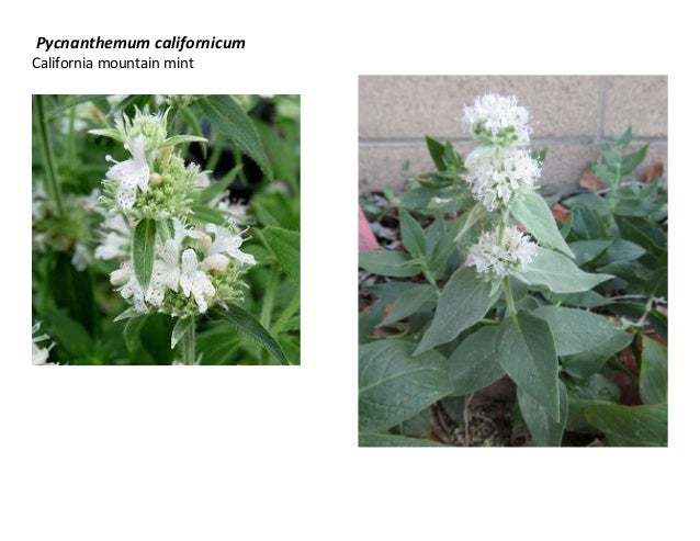 Pycnanthemum californicum California mountain mint