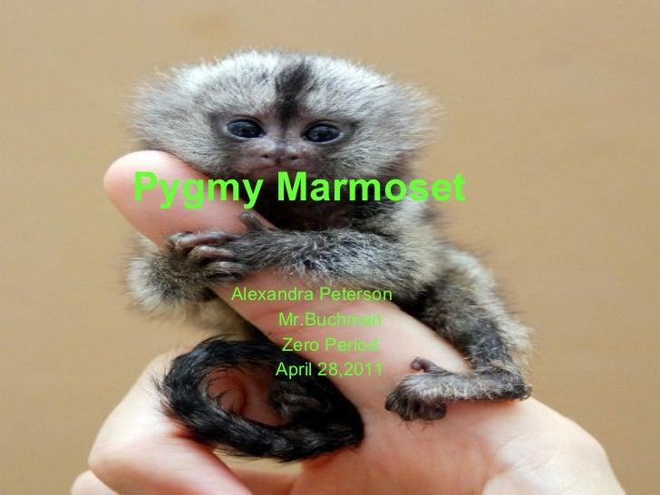 Pygmy Marmoset Alexandra Peterson Mr.Buchman Zero Period April 28,2011