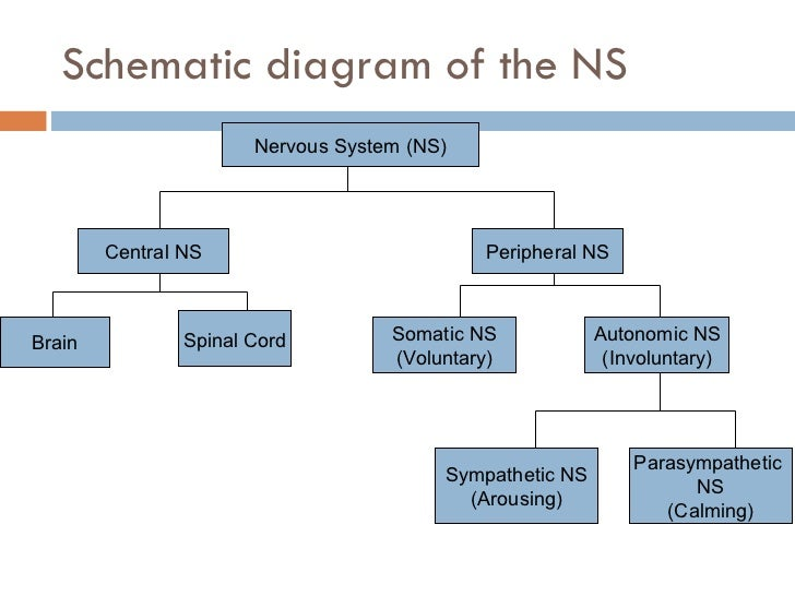 Q3l02 the nervous system schematic diagram of the ns nervous system ccuart Choice Image