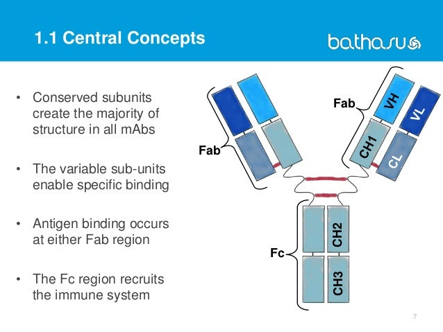 CH2CH3 • Conserved subunits create the majority of structure in all mAbs • The variable sub-units enable specific binding ...
