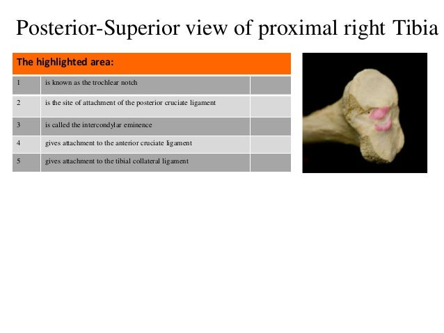 1 is known as the trochlear notch 2 is the site of attachment of the posterior cruciate ligament 3 is called the intercond...