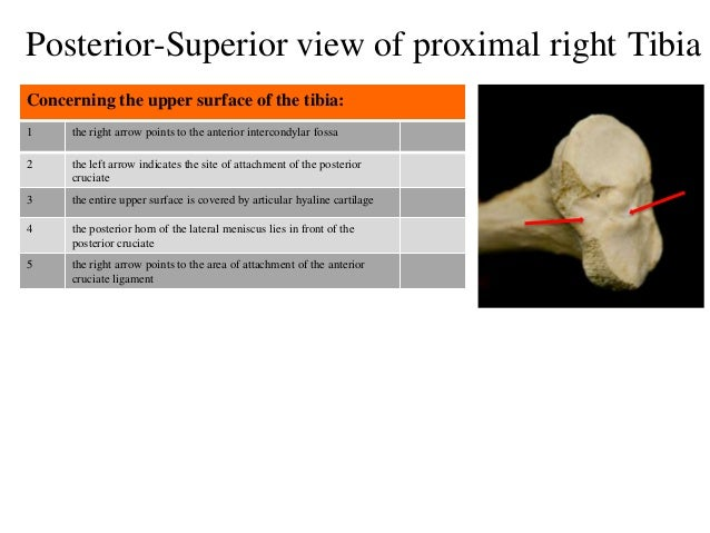 1 the right arrow points to the anterior intercondylar fossa 2 the left arrow indicates the site of attachment of the post...