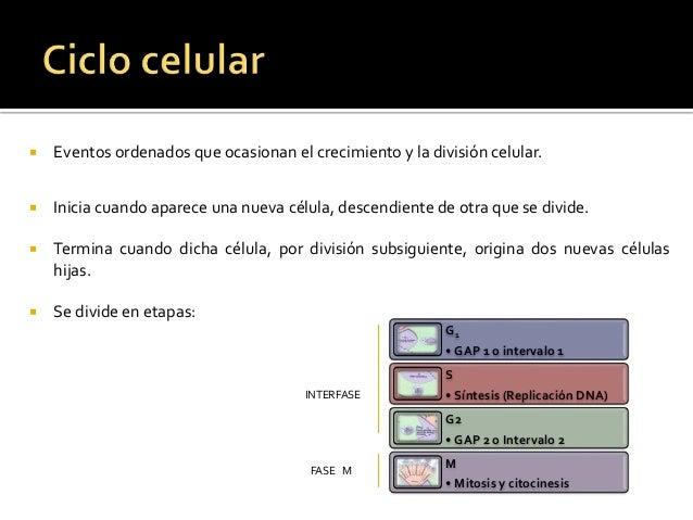 Ciclo celular Slide 2