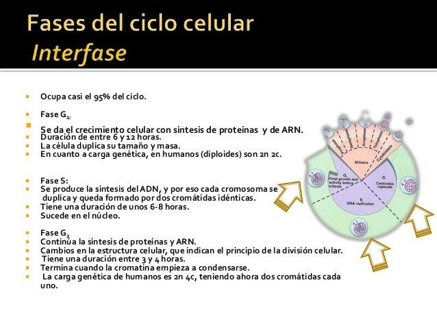 Ciclo celular Slide 3