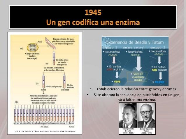 • Establecieron la relación entre genes y enzimas. • Si se alterara la secuencia de nucleótidos en un gen, va a faltar una...