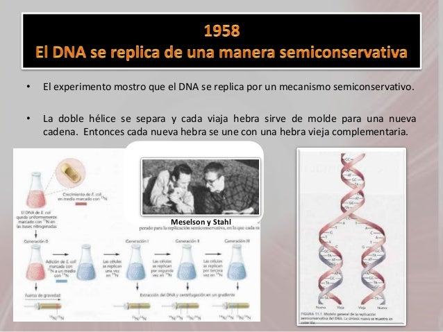 • El experimento mostro que el DNA se replica por un mecanismo semiconservativo. • La doble hélice se separa y cada viaja ...
