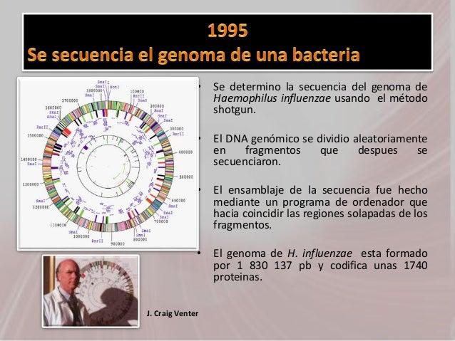 • Se determino la secuencia del genoma de Haemophilus influenzae usando el método shotgun. • El DNA genómico se dividio al...