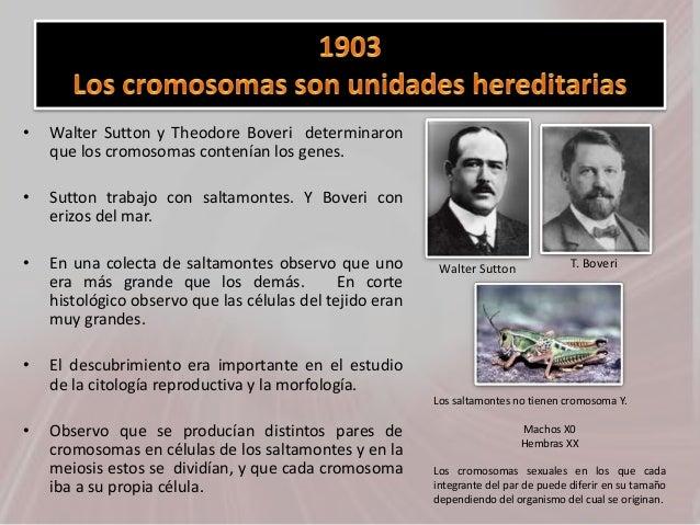 • Walter Sutton y Theodore Boveri determinaron que los cromosomas contenían los genes. • Sutton trabajo con saltamontes. Y...