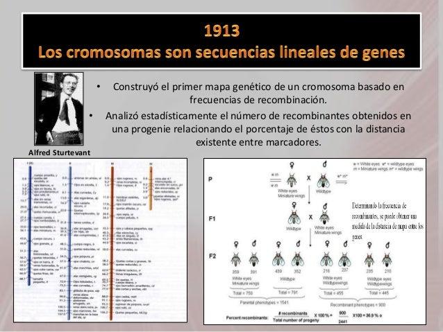 • Construyó el primer mapa genético de un cromosoma basado en frecuencias de recombinación. • Analizó estadísticamente el ...