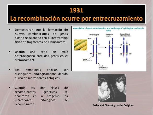 • Demostraron que la formación de nuevas combinaciones de genes estaba relacionado con el intercambio físico de fragmentos...