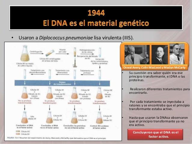 • Usaron a Diplococcus pneumoniae lisa virulenta (IIIS). • Su cuestión era saber quién era ese principio transformante, el...