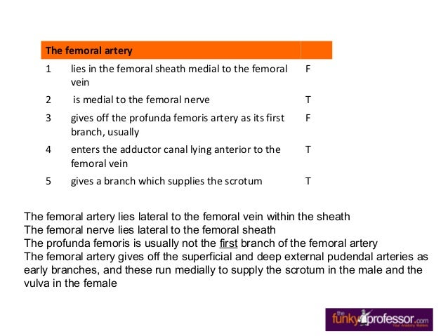 exam questions femoral triangle, Muscles